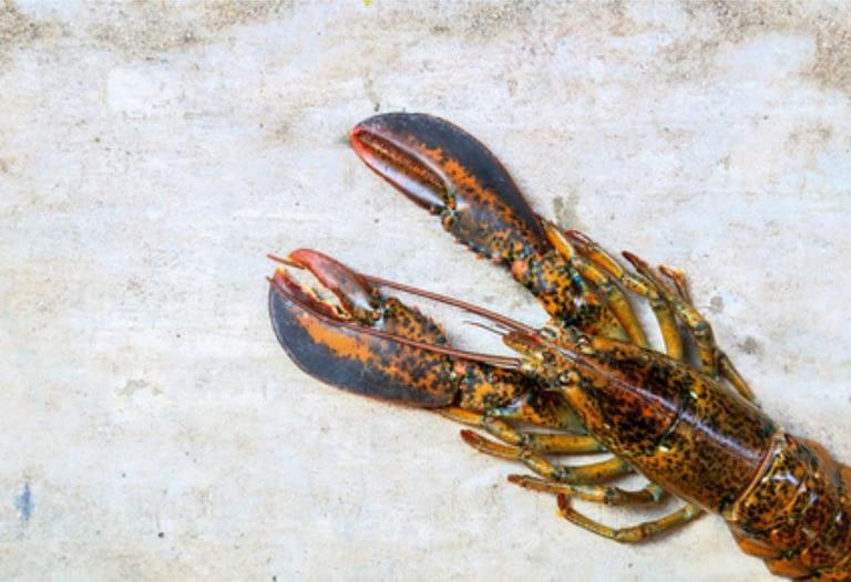 lobster living